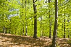 świateł słoneczne lasu Zdjęcie Royalty Free