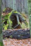 Wiatr łamający stary sosna fiszorek obrazy stock
