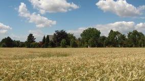Wiatr chodzi przez złotego pola zbiory