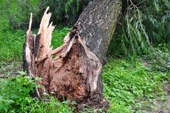 Wiatr dmuchał dużego drzewa zdjęcia stock
