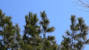 Wiatr huśta się gałąź iglastego drzewa sosna,