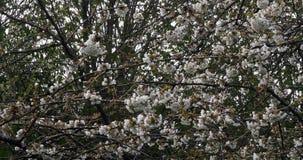 Wiatr i kwitnienia czereśniowy drzewo, prunus sp , Normandy w Francja, zwolnione tempo zbiory