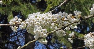 Wiatr i kwitnienia czereśniowy drzewo, prunus sp , Normandy w Francja, zwolnione tempo zdjęcie wideo