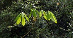 Wiatr i liście cisawy drzewo, aesculus hippocastanum, Normandy w Francja, zwolnione tempo zbiory