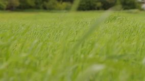 Wiatr macha trawy zbiory