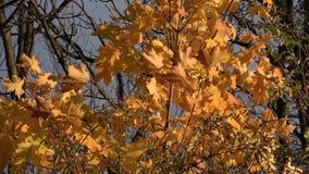 Wiatr rusza się żółtych liście klonowych na drzewie Jesień zbiory