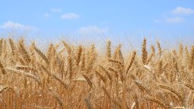 Wiatr trząść pszenicznych ucho żyto pojęcie patriotyzm i duma narodowa Ukraina przeciw niebieskiemu niebu, wideo zbiory