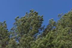 Wiatr w drzewach fotografia royalty free