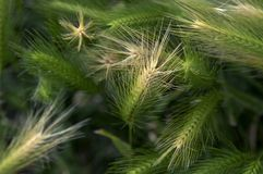 Wiatr w dzikim jęczmieniu zdjęcia stock