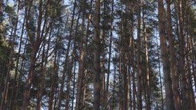 Wiatr w sosnowym lesie zbiory wideo