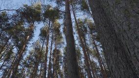 Wiatr w sosnowym lesie zdjęcie wideo