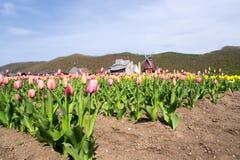 Wiatraczek z pięknym tulipanu polem Zdjęcia Royalty Free