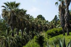 Wiatraczków drzewka palmowe zdjęcia stock