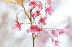 Wiatrowa himalajska wiśnia, prunus Sakura lub cerasoides lub Zdjęcie Stock