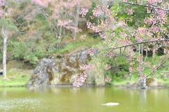 Wiatrowa himalajska wiśnia, prunus Sakura lub cerasoides lub Obrazy Stock