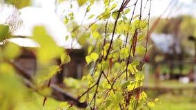 Wiatrowi liście brzoza i zbiory wideo