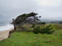 Wiatrowy kształtujący Cyprysowy drzewo blisko Pacyficznego oceanu brzeg Zdjęcia Royalty Free