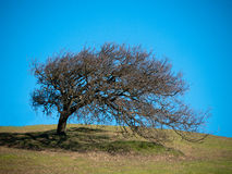 Wiatrowy kształtujący drzewo Obrazy Stock