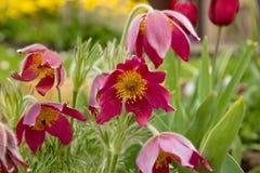 Wiatrowy kwiat Obraz Royalty Free