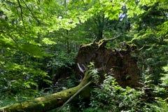Wiatrowy spadek nad ogromnym świerkowym drzewem w lecie obraz royalty free