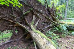 Wiatrowy spadek nad ogromnym ?wierkowym drzewem w lecie fotografia stock