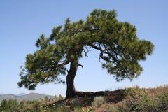 Wiatru przegięty drzewo Fotografia Stock