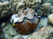 Wibrujący Gigantyczny milczek i Tropikalna ryba na rafie koralowej obrazy royalty free