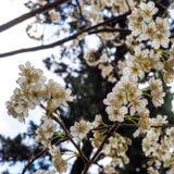Wibrująca świeża biała wiosna kwitnie w Japonia obraz royalty free