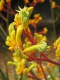 Wibrująca żółta kangur łapa fotografia royalty free