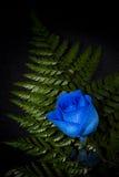 Wibrująca błękit róża Fotografia Royalty Free