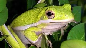 Wibrująca Drzewna żaba Zdjęcie Stock