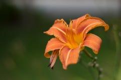 wibrująca kwiat pomarańcze Obraz Stock