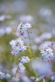 Wibrująca niezapominajkowa wiosna kwitnie z płytką głębią pole Zdjęcie Stock