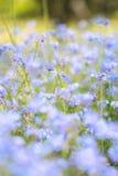 Wibrująca niezapominajkowa wiosna kwitnie z płytką głębią pole Zdjęcie Royalty Free