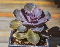 WIBRUJĄCA wiosny ECHEVERIA TŁUSTOSZOWATA roślina - STONECROP rodziny CRASSULACEAE zdjęcia royalty free