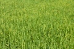 Wibrująca Zielona Ryżowego irlandczyka pola centrala Wietnam Fotografia Royalty Free