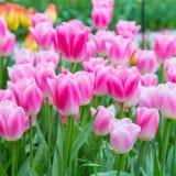 Wibrującego kolorowego zbliżenia różowy i biały tulipanu wakacje tło Obrazy Stock