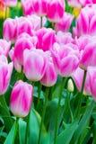 Wibrującego kolorowego zbliżenia różowy i biały tulipanu wakacje tło Fotografia Stock