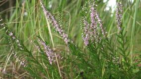 Wibrującego różowego pospolitego wrzosu Calluna vulgaris kwitnąć outdoors Kwitnący wrzos w lato lesie zbiory wideo