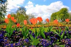 Wibrujący łóżko colourful pomarańczowi tulipany otaczający purpurowymi polyanthus roślinami Zdjęcia Royalty Free
