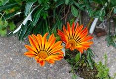 Wibrujący żółci gazania kwiaty Zdjęcie Royalty Free