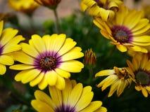 Wibrujący żółci kwiaty z różowymi centrami w motylu uprawiają ogródek Santa Barbara, Kalifornia obrazy royalty free