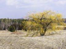 Wibrujący żółty wierzbowy drzewo w środku otwarty pole, zima pierwszy plany Zdjęcie Royalty Free