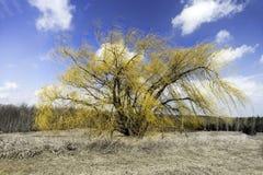 Wibrujący żółty wiillow drzewo w wczesnym wiosny polu trawy Fotografia Royalty Free