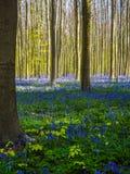 Wibrujący błękitny i purpurowy dywan bluebells podczas wiosny obraz royalty free
