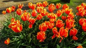 Wibrujący czerwoni tulipany w parku zdjęcie royalty free