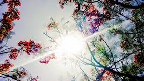 Wibrujący Czerwony kwiat płomienia drzewo Zdjęcia Stock