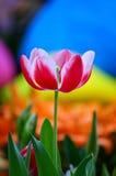 Wibrujący czerwony tulipan zdjęcie royalty free