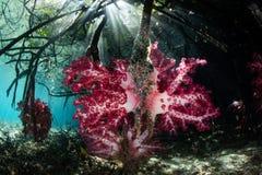 Wibrujący Miękcy korale w Raja Ampat mangrowe Zdjęcie Stock