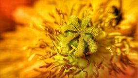 Wibrujący pożarniczy czerwieni i koloru żółtego kolory na lata wildflower z pollen szczegółem obrazy stock